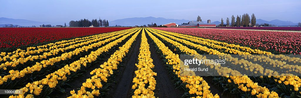 YELLOW TULIP FIELDS & FARM BUILDINGS IN WASHINGTON : Stock Photo