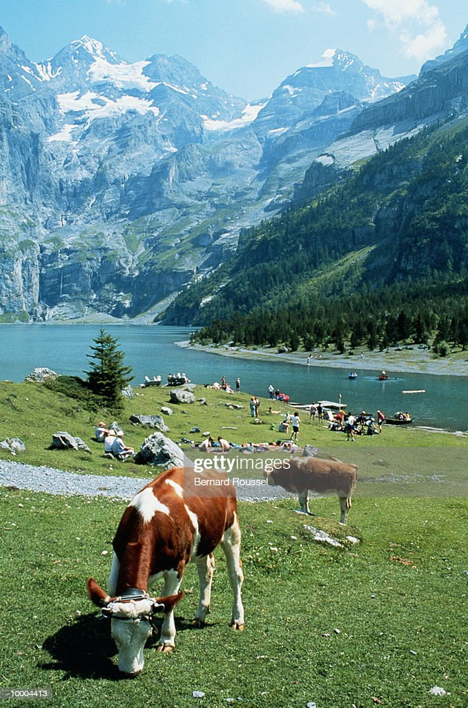 COWS BY LAKE & MOUNTAINS IN KANDERSTEG, SWITZERLAND : Stock Photo