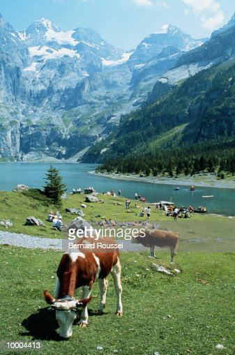 COWS BY LAKE & MOUNTAINS IN KANDERSTEG, SWITZERLAND : Stock-Foto