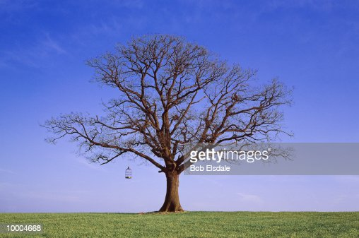 BARE TREE WITH BIRD CAGE IN SURREY, ENGLAND : Stock Photo