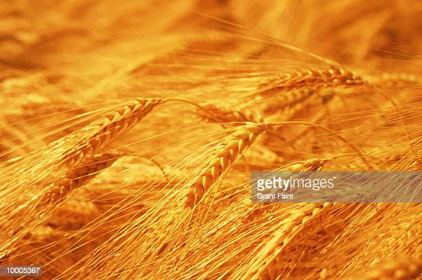 WHEAT IN DETAIL