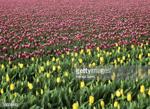 YELLOW & VARIEGATED TULIPS IN FIELD IN WASHINGTON : Stock Photo