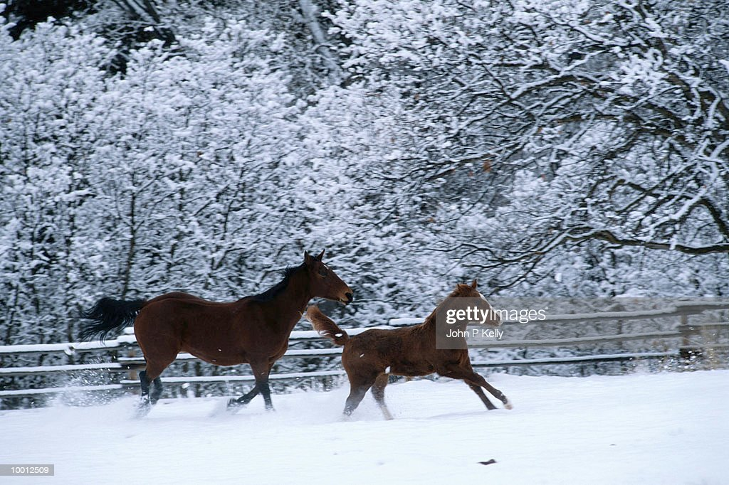 HORSE & FOAL RUNNING BY FENCE IN SNOW : Stock Photo