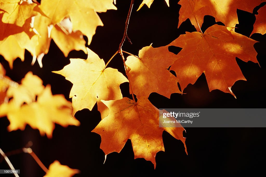 SUNLIT AUTUMN LEAVES IN DETAIL : Foto de stock