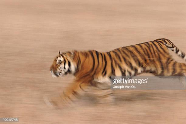 BENGAL TIGER RUNNING IN BLUR