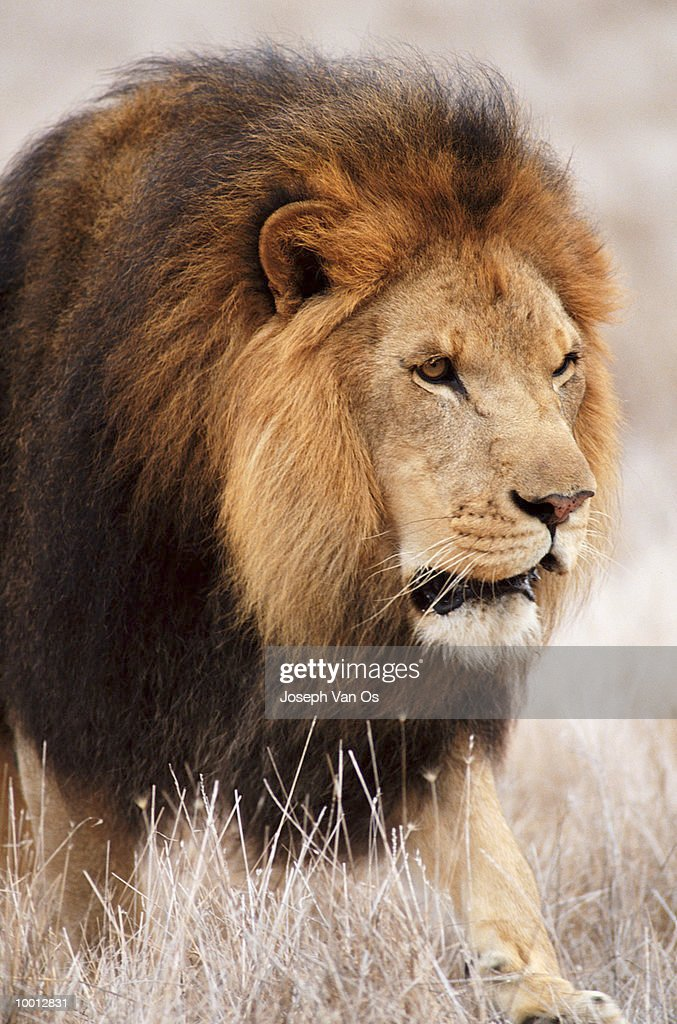 MALE AFRICAN LION : Stock Photo