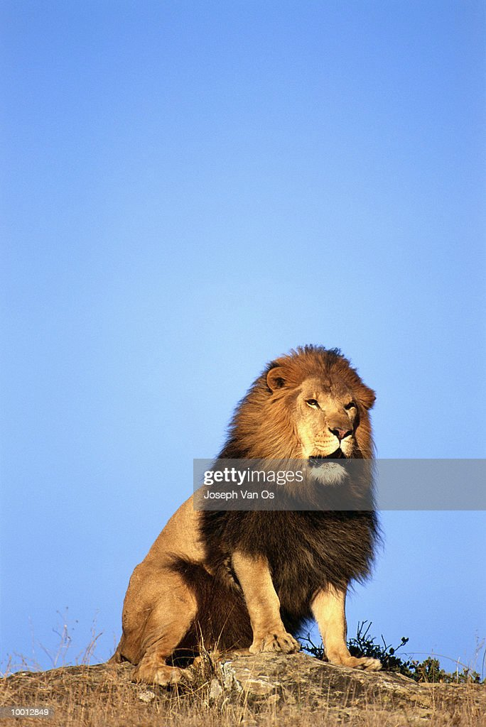 MALE AFRICAN LION SITTING ON ROCK : Stock Photo