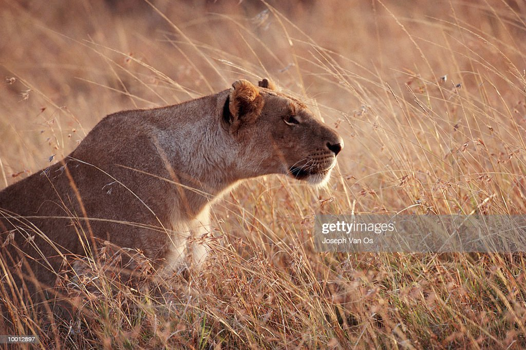LIONESS HUNTING AT MASAI MARA NATIONAL PARK IN KENYA : Stock Photo