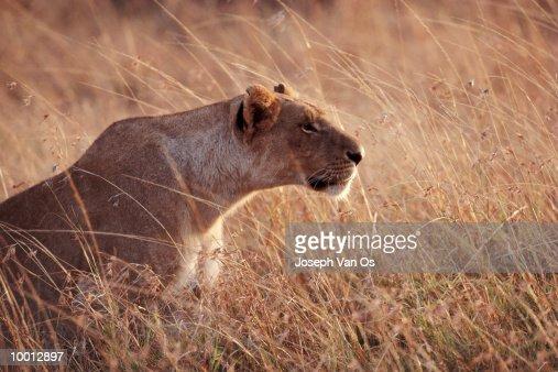 LIONESS HUNTING AT MASAI MARA NATIONAL PARK IN KENYA : Stock Photo