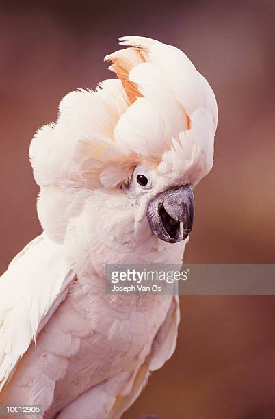 SALMON-CRESTED COCKATOO IN INDONESIA