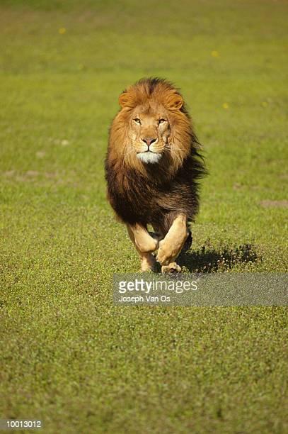 AFRICAN LION RUNNING THROUGH GREEN FIELD