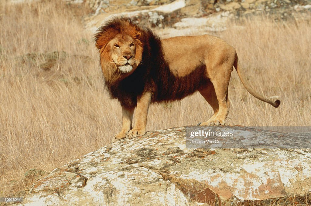 LION STANDING ON ROCK : Stock Photo