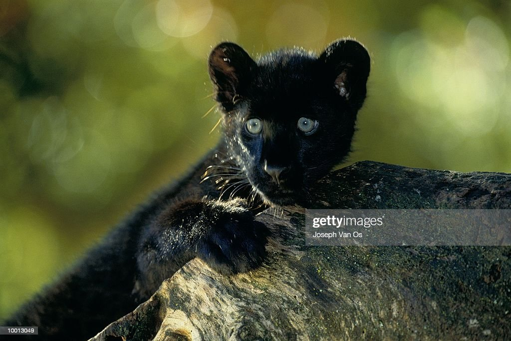 BLACK AFRICAN LEOPARD CUB BY ROCK