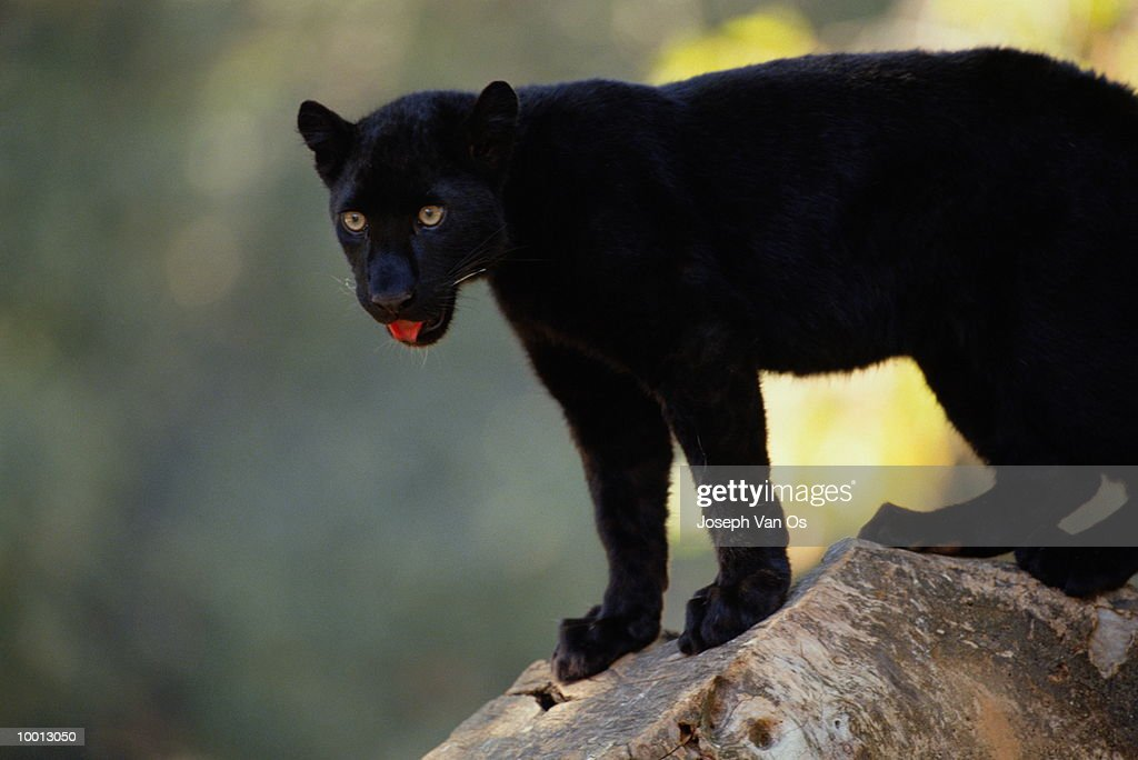 BLACK AFRICAN LEOPARD ON ROCK WITH TONGUE OUT : Stock Photo