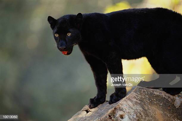 BLACK AFRICAN LEOPARD ON ROCK WITH TONGUE OUT