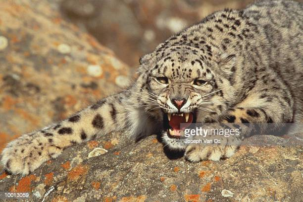 SNOW LEOPARAD GROWLING ON ROCK
