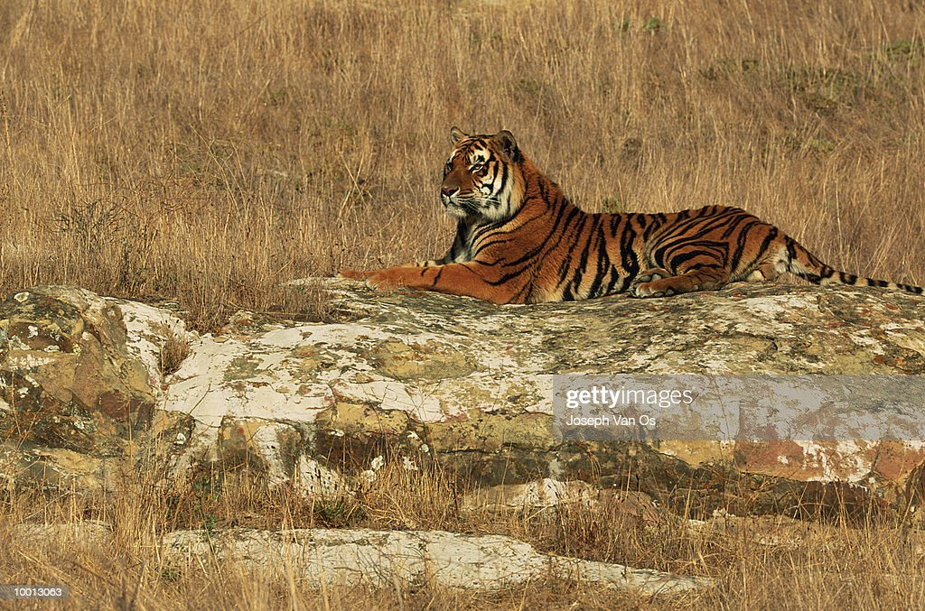 BENGAL TIGER ON ROCK SLAB IN FIELD : Stock Photo