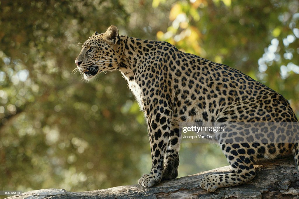 SEATED AFRICAN LEOPARD : Stock Photo