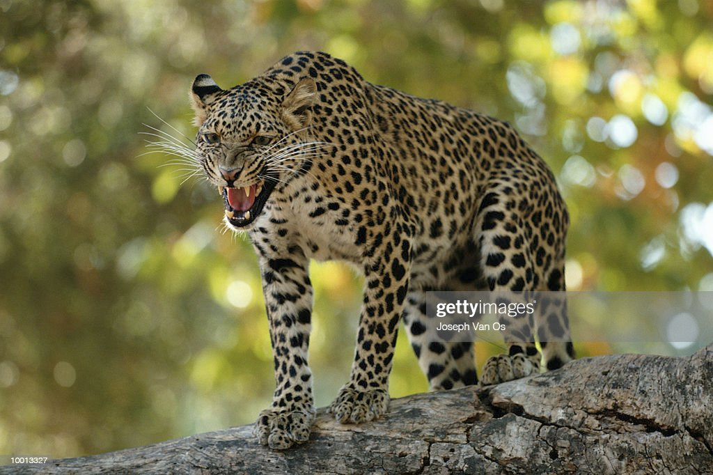 AFRICAN LEOPARD GROWLING ON ROCK : Stock Photo