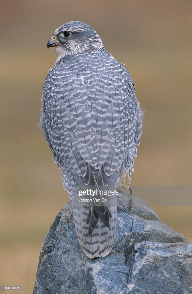 BACK VIEW OF A GYRFALCON ON ROCK IN CANADA : Stock Photo