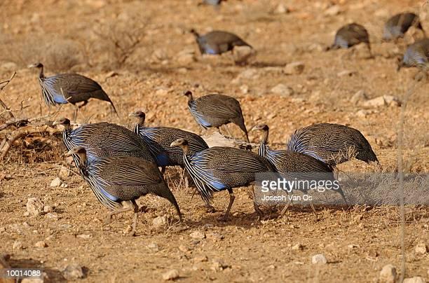 VULTURINE GUINEA FOWL AT SAMBURU NATIONAL PARK IN KENYA