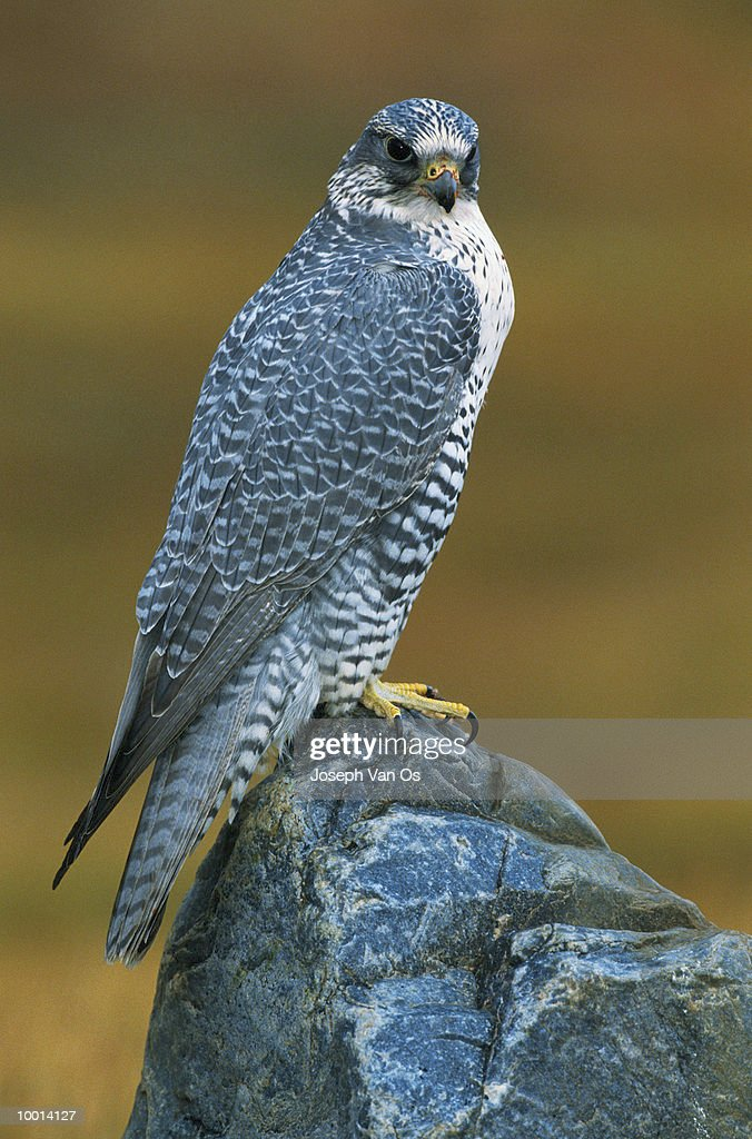 GYRFALCON IN THE NORTHWEST TERRITORIES OF CANADA : Stock Photo
