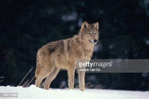 TIMBER WOLF FROM NORTH AMERICA : Stock Photo