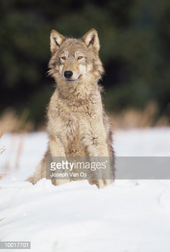TIMBER WOLF FROM NORTH AMERICA : Stockfoto