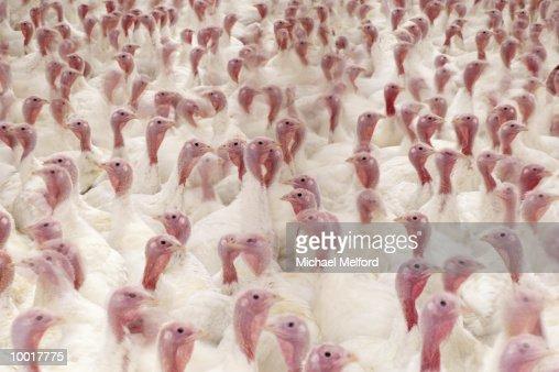 TURKEY FARM IN PLAINVILLE, NEW YORK : Stockfoto