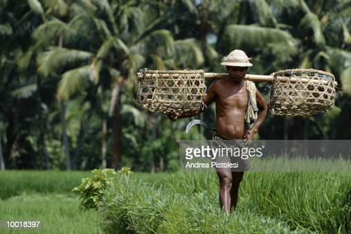 MAN IN RICE FIELD IN BALI, INDONESIA : Stockfoto