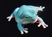 WHITE'S TREEFROG OR BLUE FROG IN NORTH & EAST AUSTRALIA