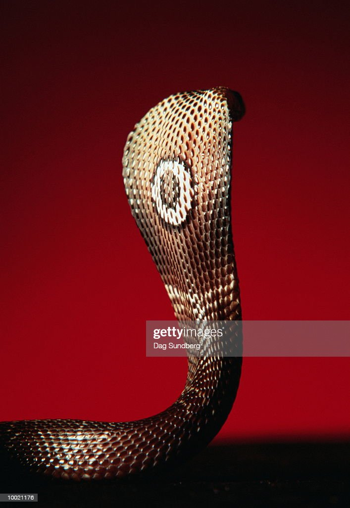 CLOSE-UP OF A MONOCLE COBRA : Stock Photo
