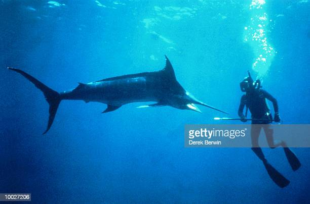 DIVER WITH BLACK MARLIN IN INDIAN OCEAN