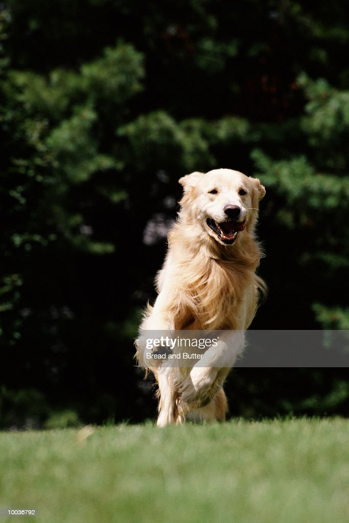 GOLDEN RETRIEVER DOG : Stock Photo