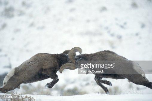 BIGHORN SHEEP IN DOMINANCE CLASH IN MONTANA