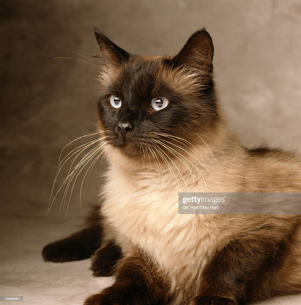 SIAMESE CAT : Stock Photo