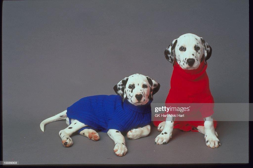 DALMATION PUPPIES : Stock Photo
