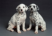 2 DALMATION PUPS ON GRAY