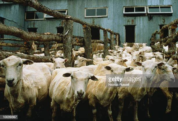 SHORN SHEEP IN PATAGONIA, ARGENTINA