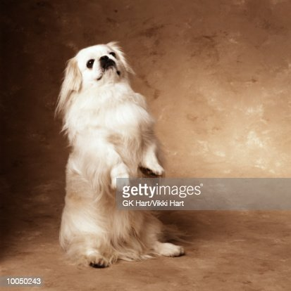 PEKINGESE : Stock Photo