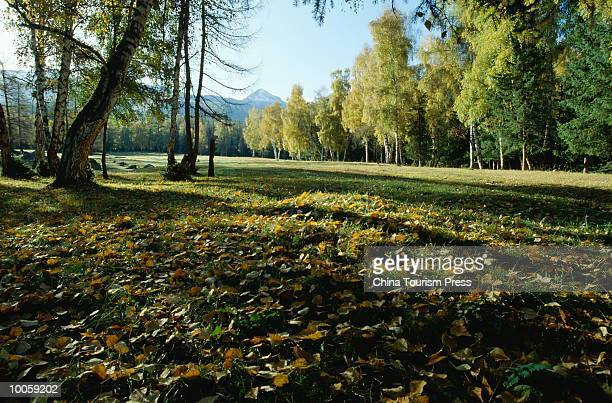 FOREST, ALTAY, XINJIANG PROVINCE, PEOPLES REPUBLIC OF CHINA