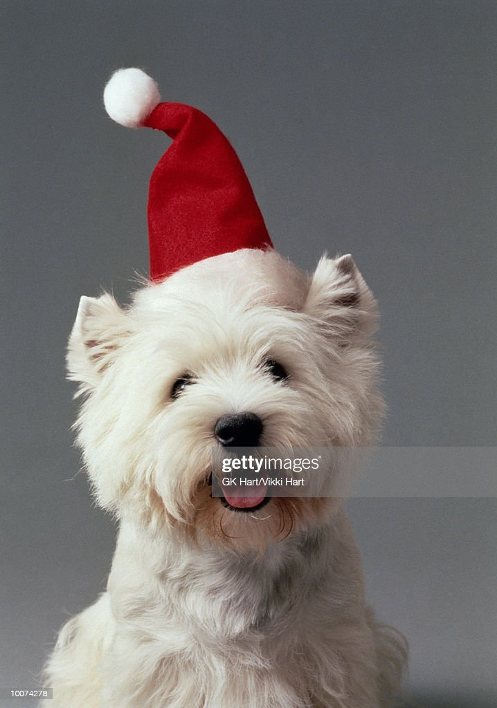 WEST HIGHLAND TERRIER WITH SANTA HAT : Stock Photo