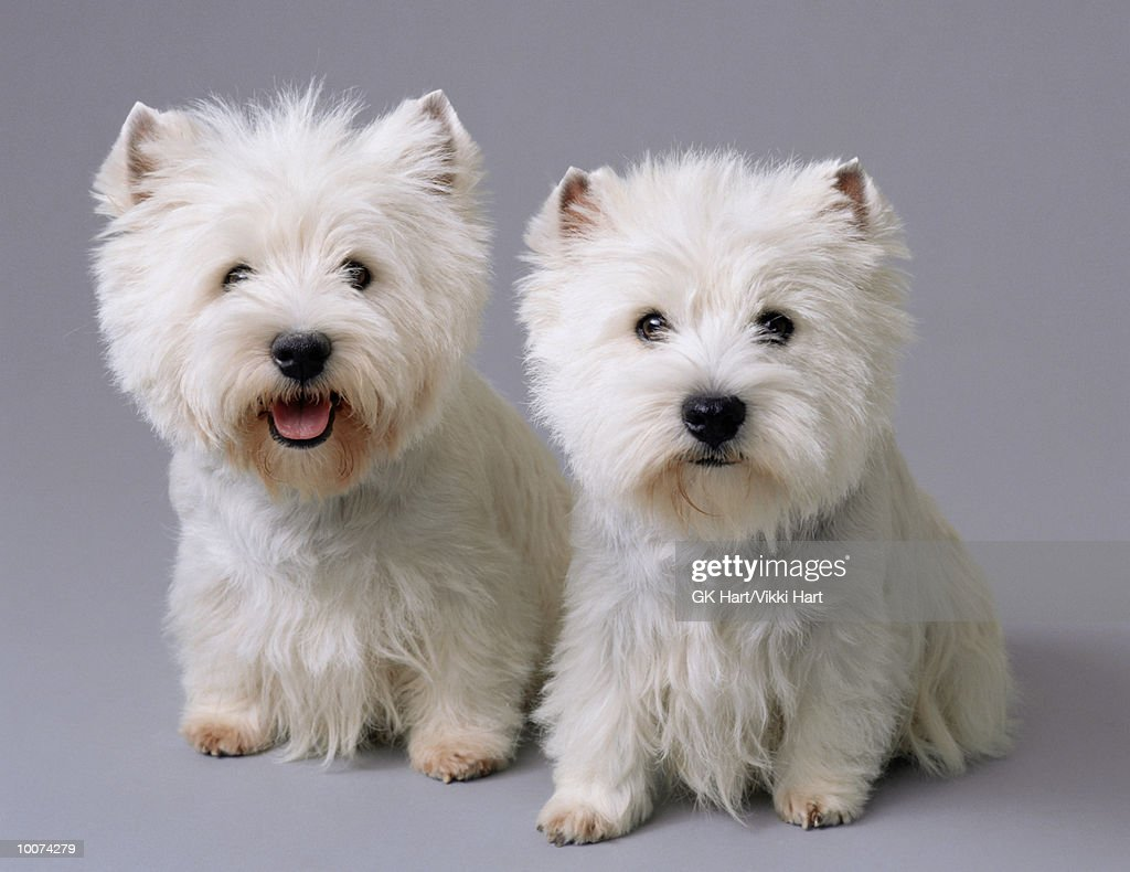 TWO WEST HIGHLAND TERRIERS : Stock Photo