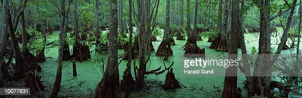 BIG CYPRESS TREE BAYOU SWAMP IN LOUSIANNA