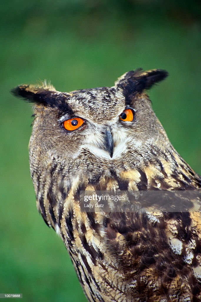 HORNED OWL : Stock Photo