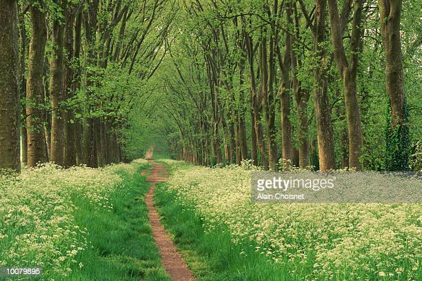 TREES IN THE COMPIEGNE FOREST IN PICARDY, FRANCE