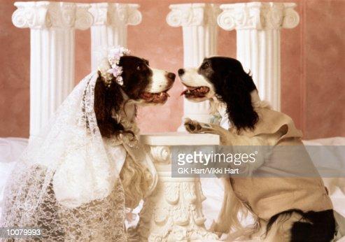 SPRINGER SPANIEL WEDDING