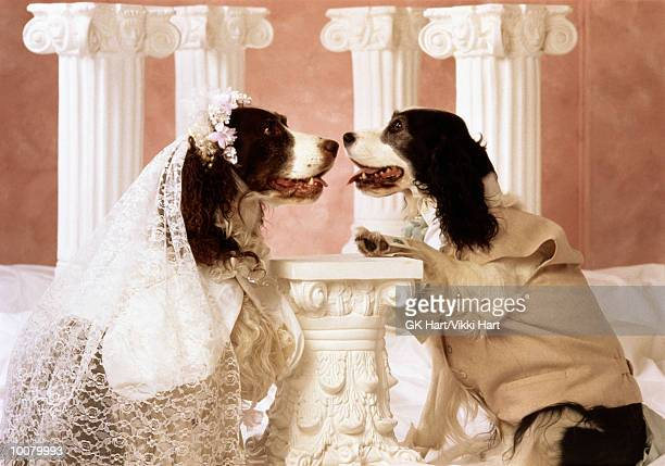 SPRINGER SPANIEL WEDDING