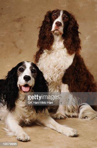 PORTRAIT OF SPRINGER DOGS