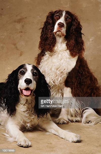 PORTRAIT OF SPRINGER DOGS